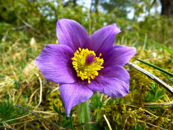 elixir-floral-anemone-france-phytominero